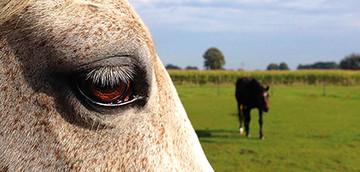 Rentnerpferd Nahaufnahme Auge